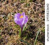 Purple Crocus Flower In Early...