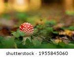 Amanita Mushroom With Red Cap...