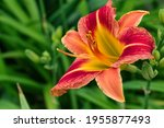 Red Yellow Flower Daylily ...