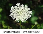 Queen Anne Lace Blooming On A...