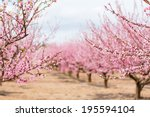 A Field Of Blossoming Almond...