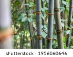 Bamboo Forest Close Up Green...