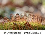 Moss With Red Spore Capsules...
