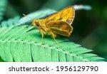 Closeup With Yellow Palm Dart.