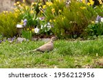 A Eurasian Collared Dove...