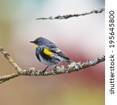 Male Yellow Rumped Warbler...