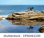 A White Breasted Cormorant ...