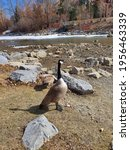 Goose By The Lake And Rocks