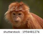 Javan Lutung Portrait. Zoo...