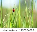 Concept. Ladybug Crawling On A...