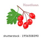 hawthorn berry isolated on...   Shutterstock .eps vector #1956508390