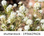 Mountain Pepperweed Blooming In ...