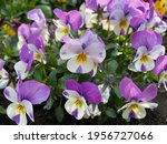 Violet White Spring Flowers...
