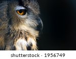 Sideportrait  Of An Owl On A...
