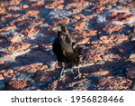 Image Of A Crow Walking