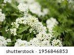 Flowering Garden Variety Of...