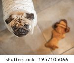 Pug Standing Next To Toy...