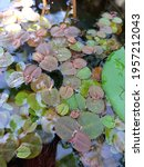 Small photo of Red Root Floater, Phyllanthus fluitans is aquatic floating plant