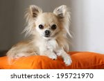 Longhair Chihuahua Lying And...