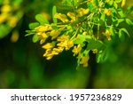 Yellow Broom Blossom  Planta...