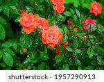 Roses In The Garden. The Bush...
