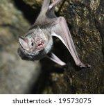A Vampire Bat Baring Its Fangs...