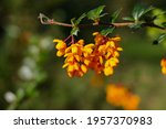 Flowers Of Berberis Dawinii...