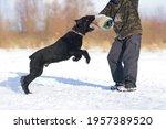 Black Giant Schnauzer Dog With...