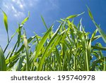cornfield   Shutterstock . vector #195740978