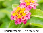 lantana or wild sage or cloth... | Shutterstock . vector #195750920