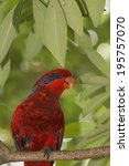 Small photo of Red Lory parrot bird portrait