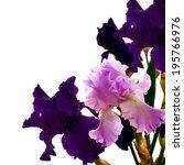 Iris Flower Isolated. Beautiful ...