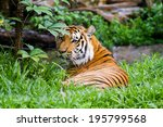 asian  or bengal tiger | Shutterstock . vector #195799568