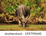 water buffalo grazing in marshy ... | Shutterstock . vector #195799640