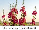 Beautiful Red Flowers Alcea...