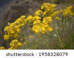 Flora Of Gran Canaria   ...