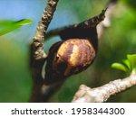 Snails Resting On The Aglonema...