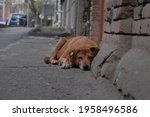 Stray Feral Dog On A Street. On ...