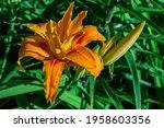 Orange Red Daylily Flower ...