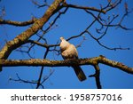 A Eurasian Collared Dove...