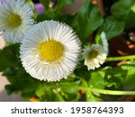 Daisy. A Delightful White...