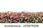 Bougainvillea Pink Flowers Wal...
