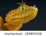 Eyelash Bush Viper   Atheris...