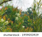 Melaleuca Linariifolia  Common...