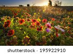 sunflowers and indian blanket... | Shutterstock . vector #195922910
