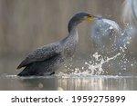 Cormorant  Phalacrocorax Carbo  ...