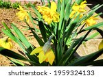 Daffodils (narcissus) a springtime yellow flower bulb plant growing outdoors in a public park during the spring season, stock photo image