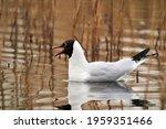 The Black Headed Gulls ...