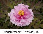 a pink peony   Shutterstock . vector #195935648