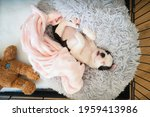 Small photo of Adorable Boston Terrier puppy, lying on her back on a snuggle bed with a pink blanket and teddy bear next to her. She in safe in a crate pen. Seen from above looking down.